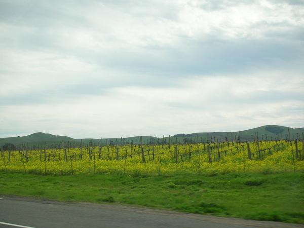 2009 Napa Valley Mustard