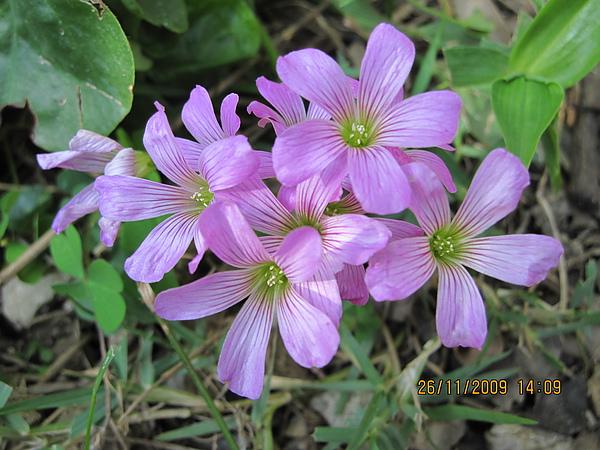 紫花醡酱草.JPG