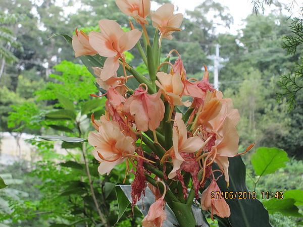 粉橙野薑花.JPG