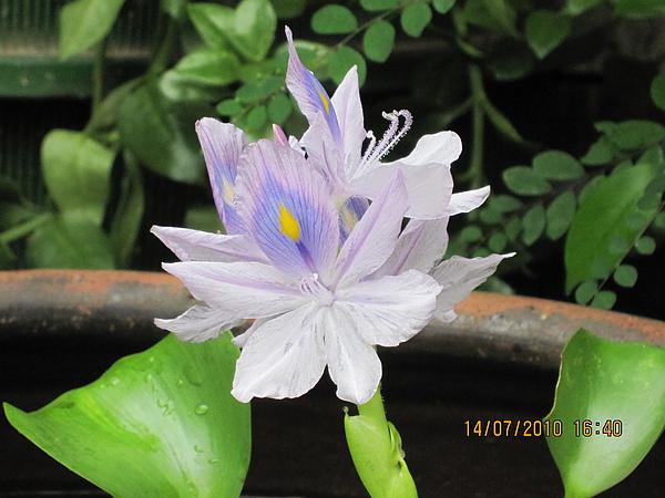 布袋蓮(花).JPG