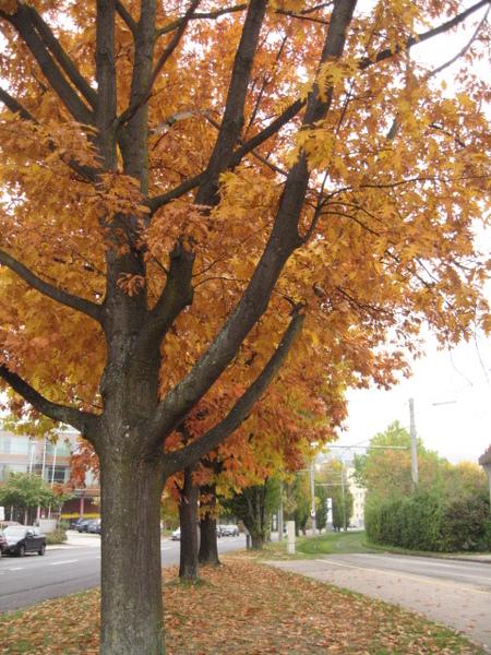 秋天的行道樹