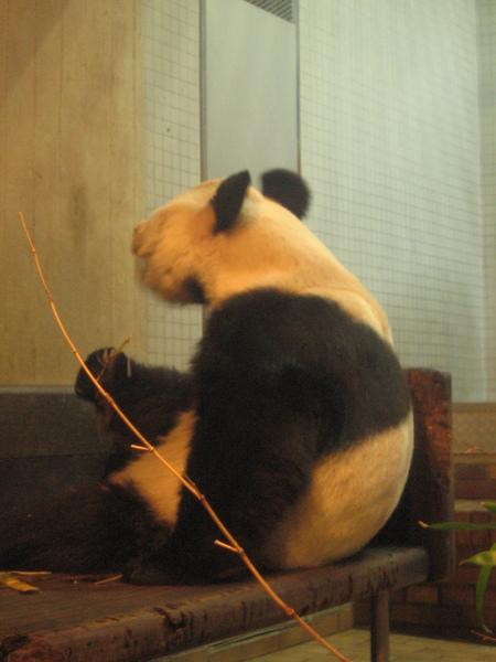 熊貓「寶寶」