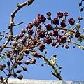 IMG_1084 是香味最強的藤種.JPG
