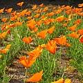 IMG_1067 花菱草。California poppy.JPG