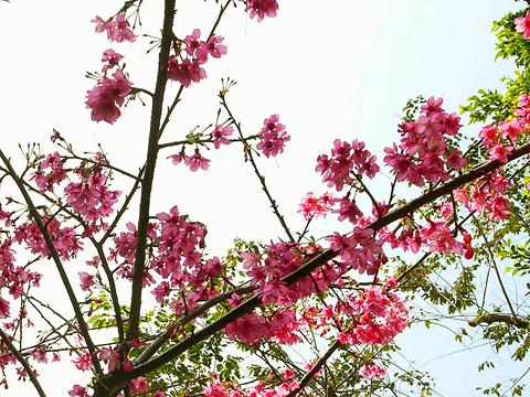 比起櫻花,更想要櫻桃