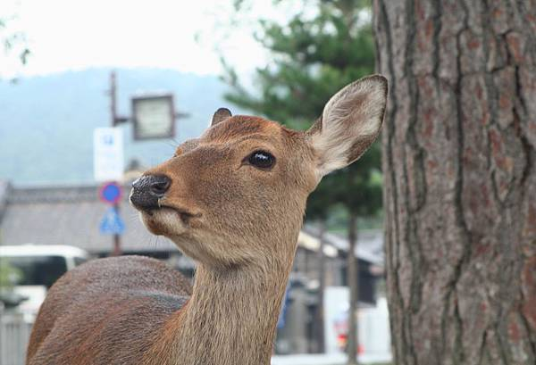 這隻鹿完全不怕生