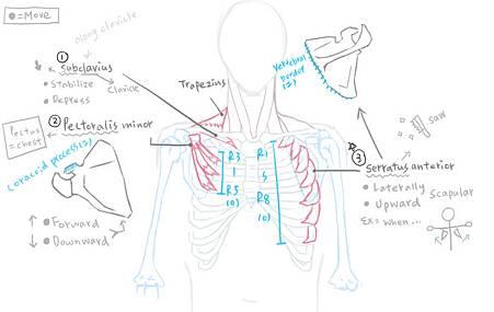 muscle of thorax-1.jpg