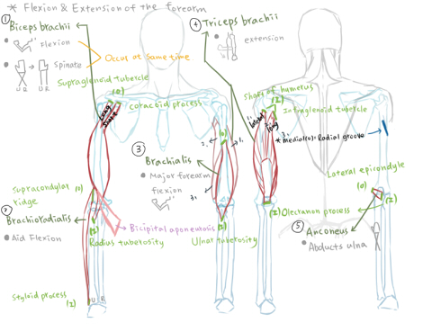 muscle of shoulder(S).jpg