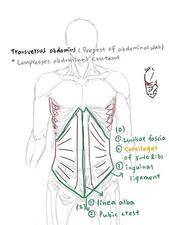 muscle of abdominal wall-4.jpg