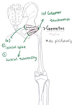 muscle of thigh(P)-6.jpg