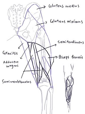 muscle of thigh(P)-9.jpg