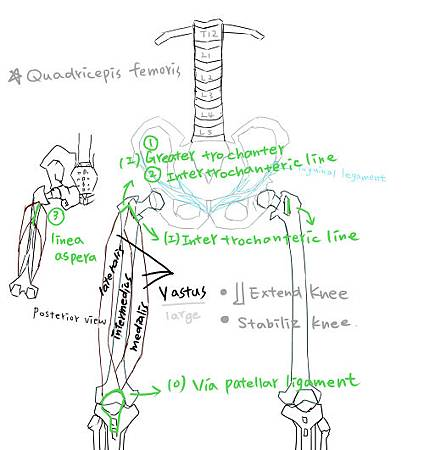 muscle of thigh-8.jpg