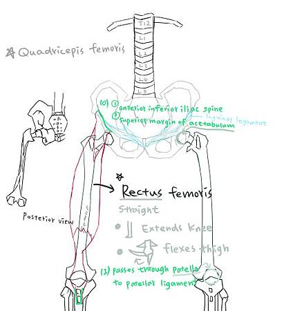 muscle of thigh-7.jpg