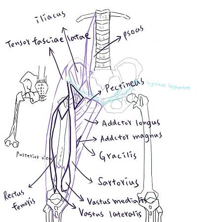 muscle of thigh-10.jpg