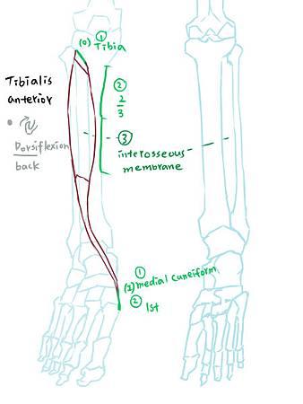 muscle of leg(A)-1.jpg