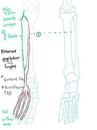 muscle of leg(A)-2.jpg