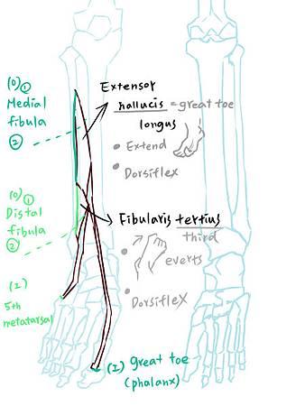muscle of leg(A)-3.jpg
