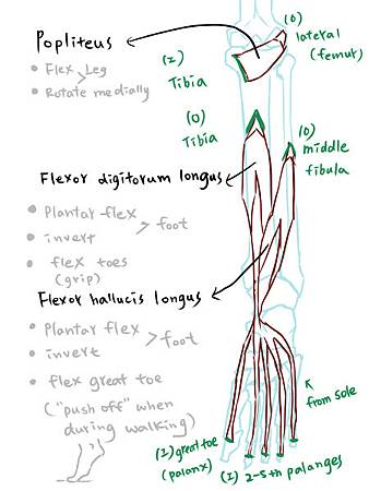 muscle of leg(P)-3.jpg