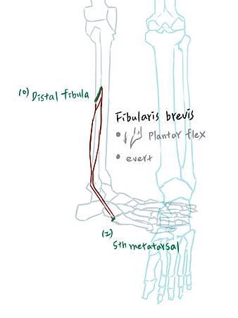 muscle of leg(L)-2.jpg