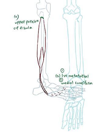 muscle of leg(L)-1.jpg