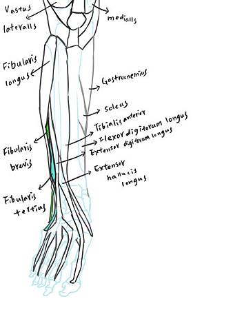 muscle of leg-review(A).jpg