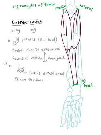 muscle of leg(P)-1.jpg