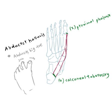 muscle of foot-1-2.jpg