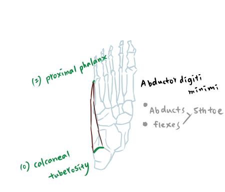 muscle of foot-1-3.jpg