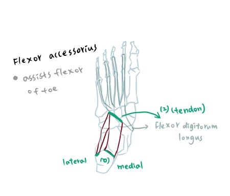muscle of foot-2-1.jpg