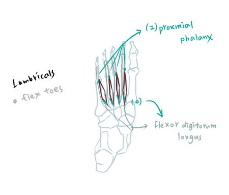 muscle of foot-2-2.jpg