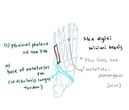 muscle of foot-3-3.jpg