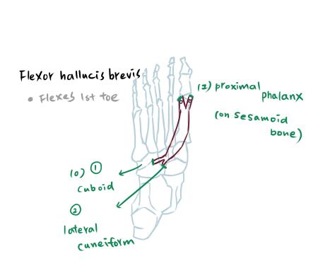 muscle of foot-3-1.jpg