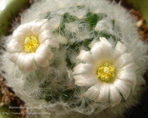 小白星兩朵花2.jpg