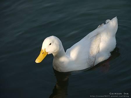 110406-white duck.jpg