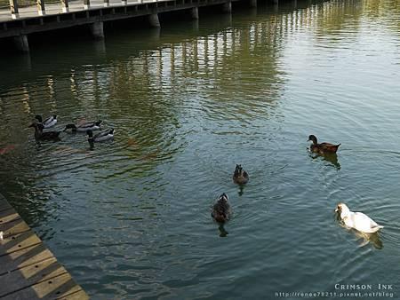 110406-ducks.jpg