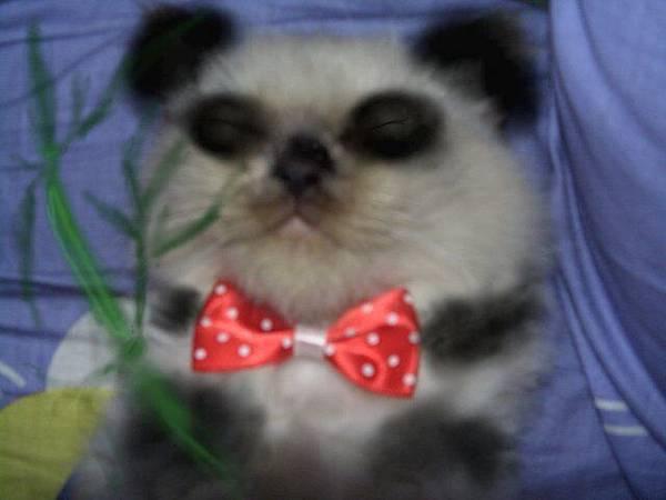此熊貓非比熊貓也