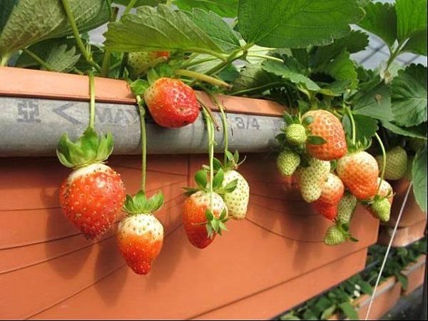 草莓園、採海芋 連假去這大人小孩都愛