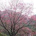 環山路上的櫻花