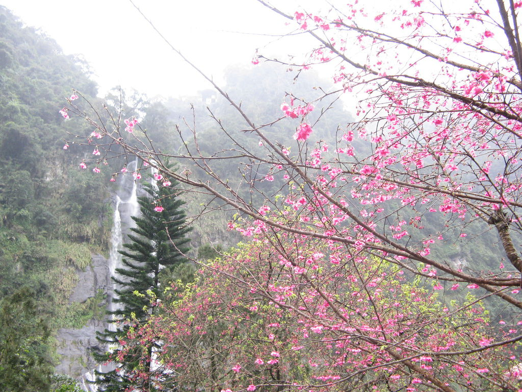 瀑布附近的櫻花