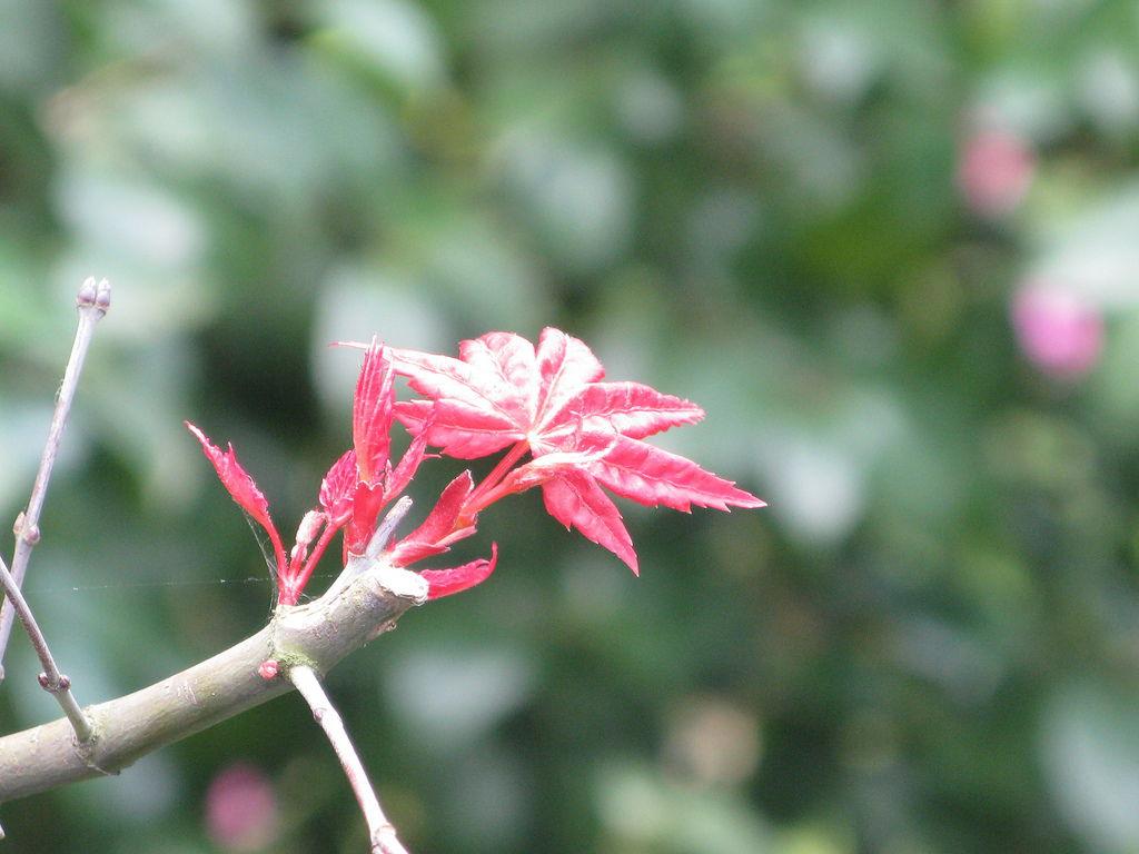 天元宮的台灣掌葉槭 4