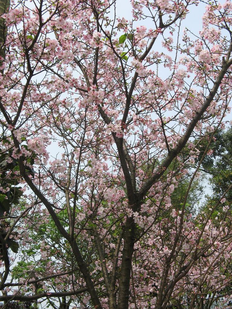 天元宮附近的吉野櫻 5