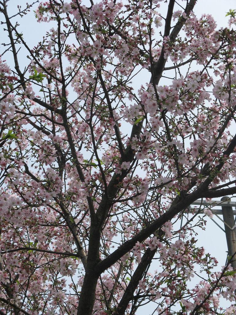 天元宮附近的吉野櫻 9