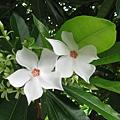 海檬果的花