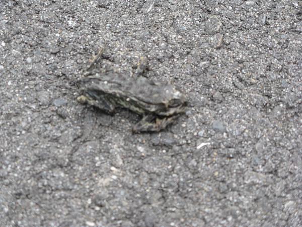 三貂角燈塔步道上的青蛙
