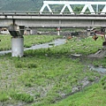 橋下的牛群