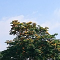 老人家說這種樹開花只有一天,很快就謝了。 講了樹的名字,但是我十秒後就忘了… #盛開 #剎那 #睡眠不足