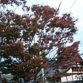 叡山電車出町柳駅附近的樹已經紅了