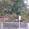 平安神宮左近の桜