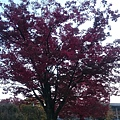 平安神宮外一株滿開的紅葉