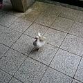 躲雨中遇見尾巴會開花的孔雀鴿